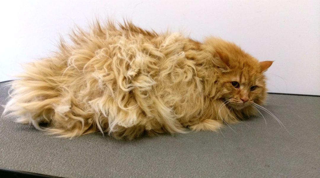 Hoe je eenvoudig de klitten uit de vacht van je kat verwijdert zonder dat je gekrabd of gebeten wordt